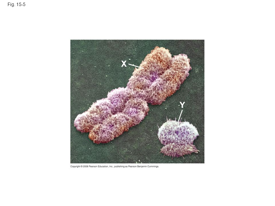 Fig. 15-5 X Y Figure 15.5 Human sex chromosomes