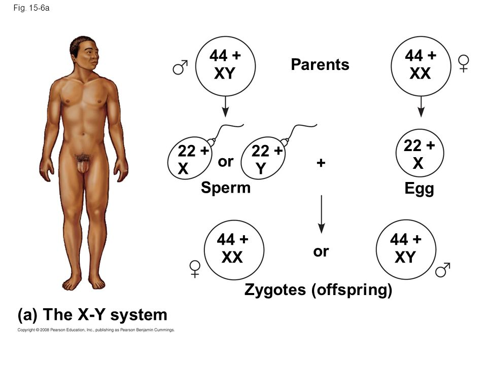 (a) The X-Y system 44 + XY 44 + XX Parents 22 + X 22 + X 22 + Y or +