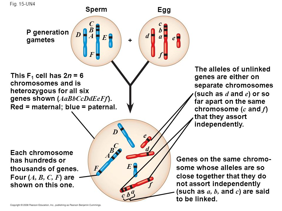 The alleles of unlinked genes are either on separate chromosomes