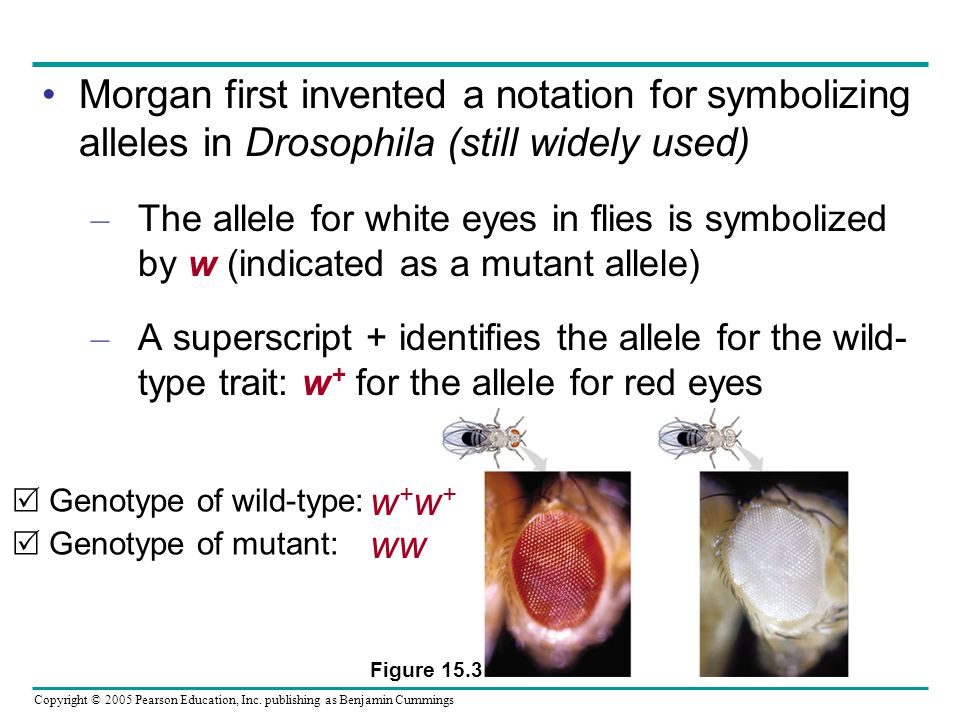 Morgan first invented a notation for symbolizing alleles in Drosophila (still widely used)