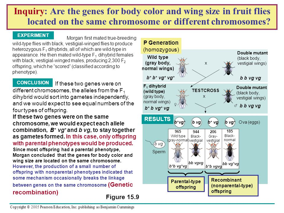 Inquiry: Are the genes for body color and wing size in fruit flies located on the same chromosome or different chromosomes