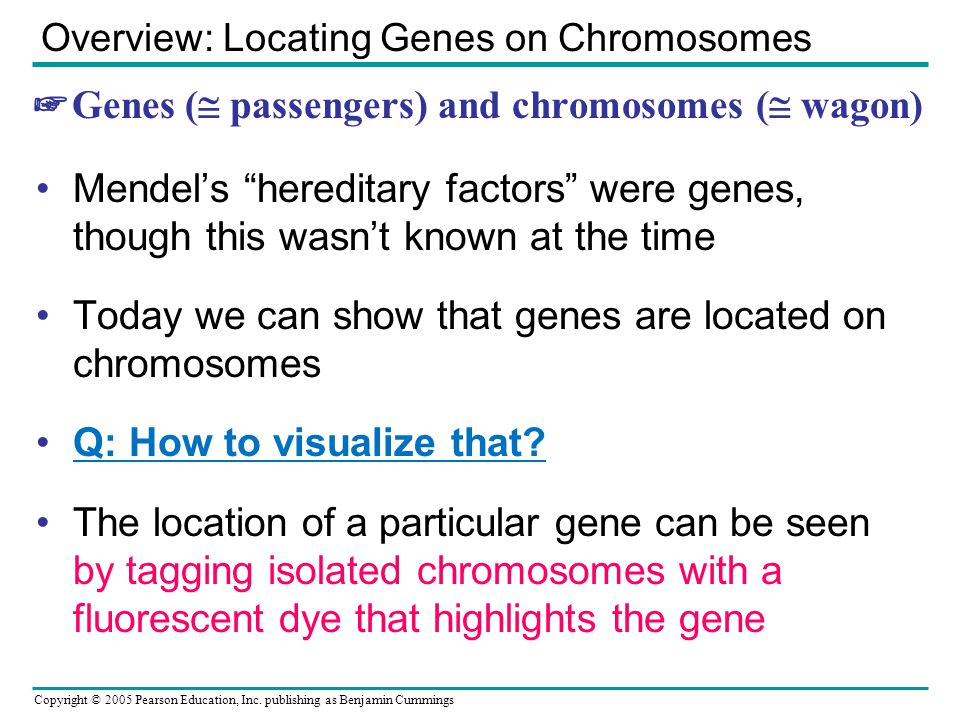 ☞Genes ( passengers) and chromosomes ( wagon)