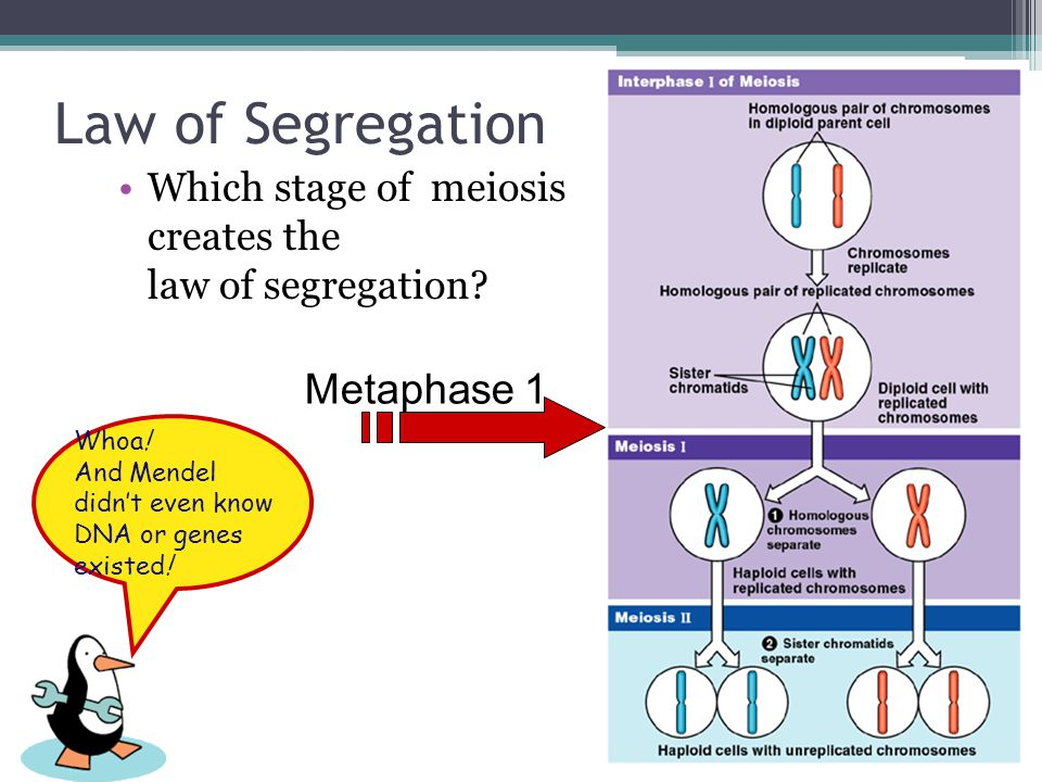 Law of Segregation Metaphase 1
