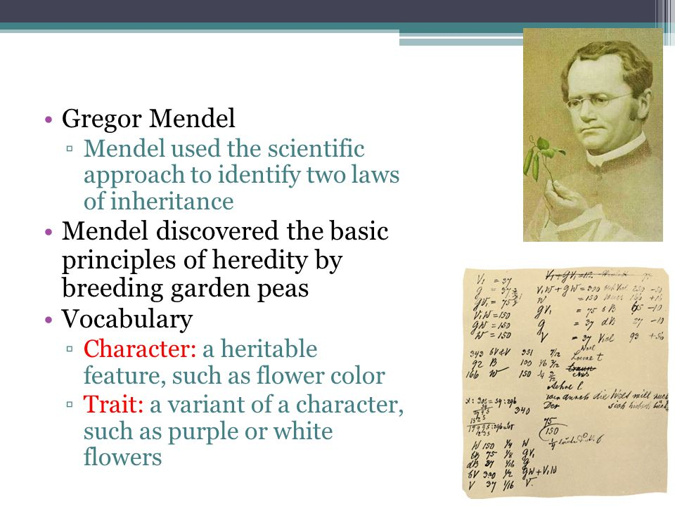 Gregor Mendel Mendel used the scientific approach to identify two laws of inheritance.