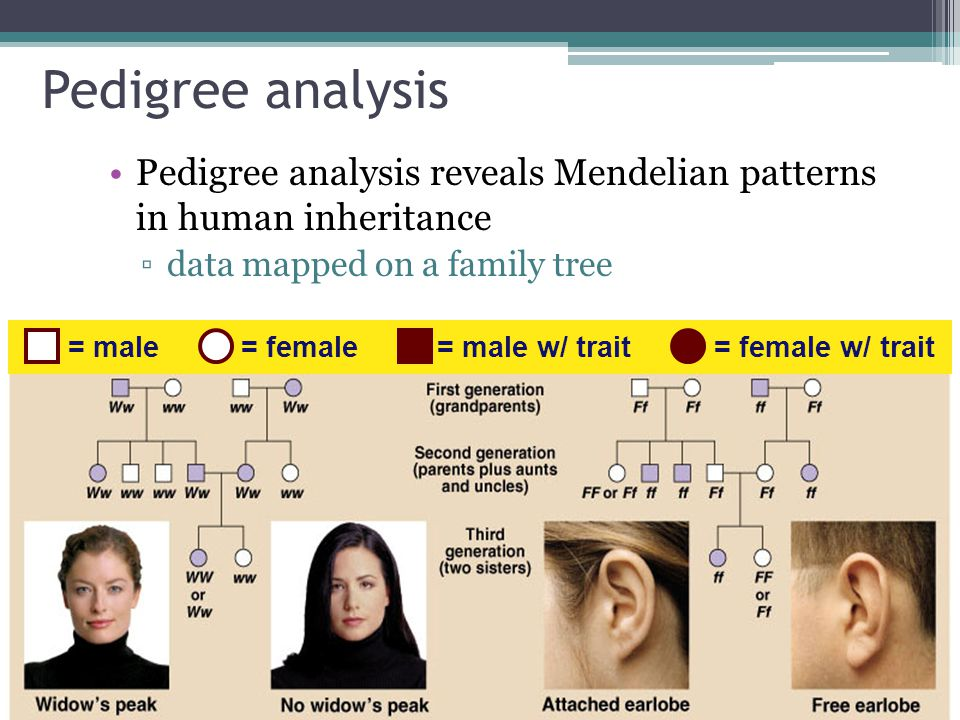 Pedigree analysis Pedigree analysis reveals Mendelian patterns in human inheritance. data mapped on a family tree.