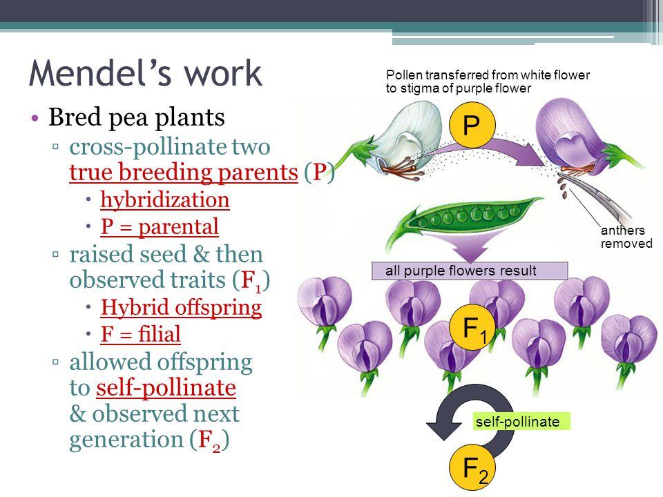 Mendel's work P F1 F2 Bred pea plants