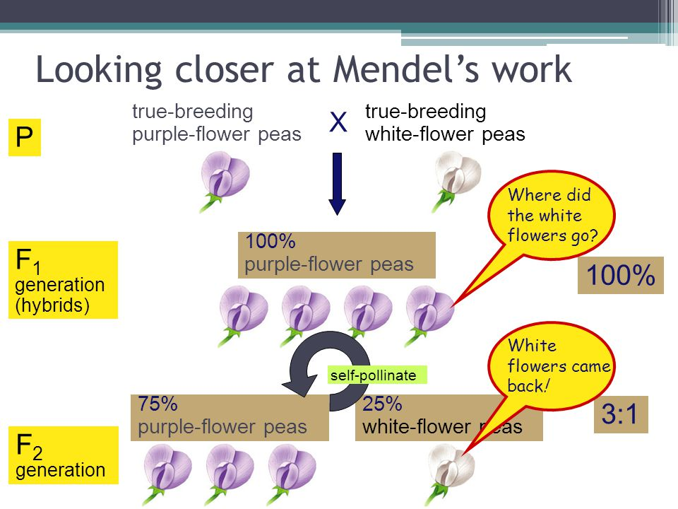 Looking closer at Mendel's work