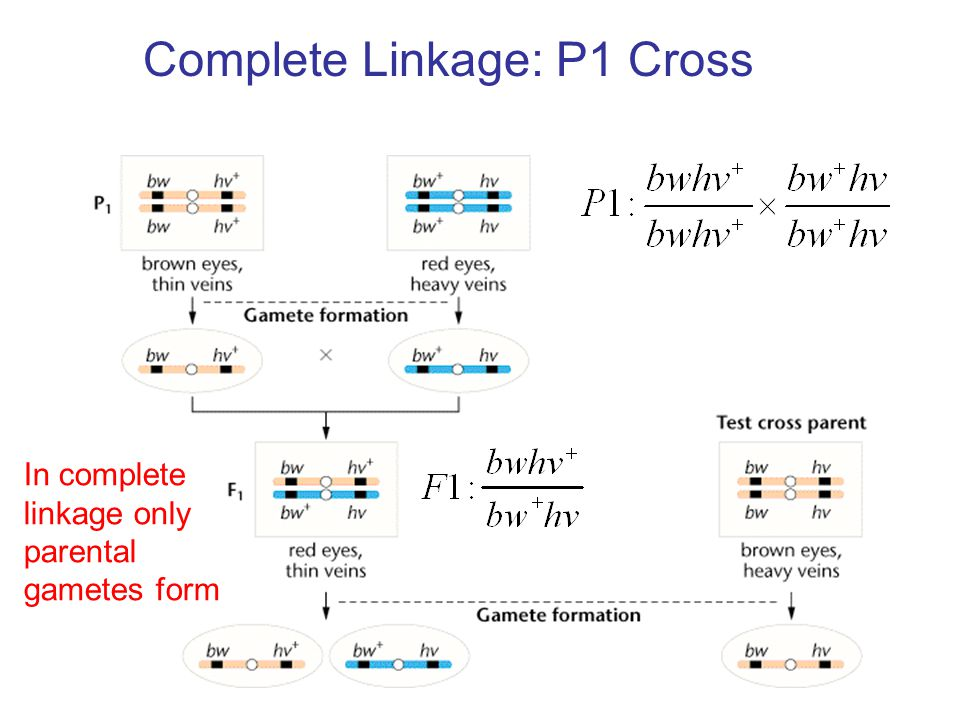 Complete Linkage: P1 Cross