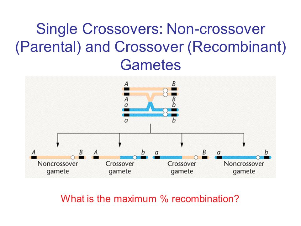 Single Crossovers: Non-crossover (Parental) and Crossover (Recombinant) Gametes
