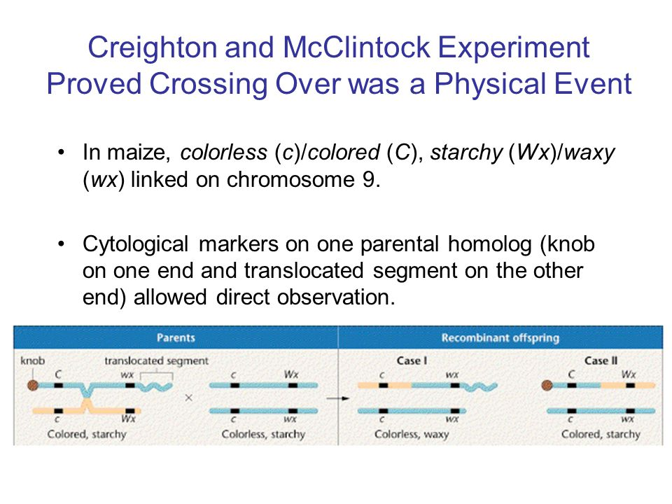 Creighton and McClintock Experiment Proved Crossing Over was a Physical Event