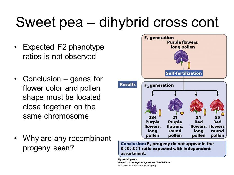 Sweet pea – dihybrid cross cont