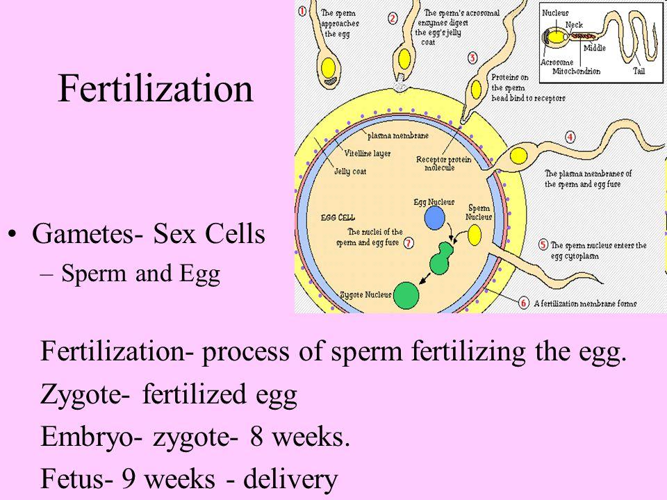 Fertilization Gametes- Sex Cells