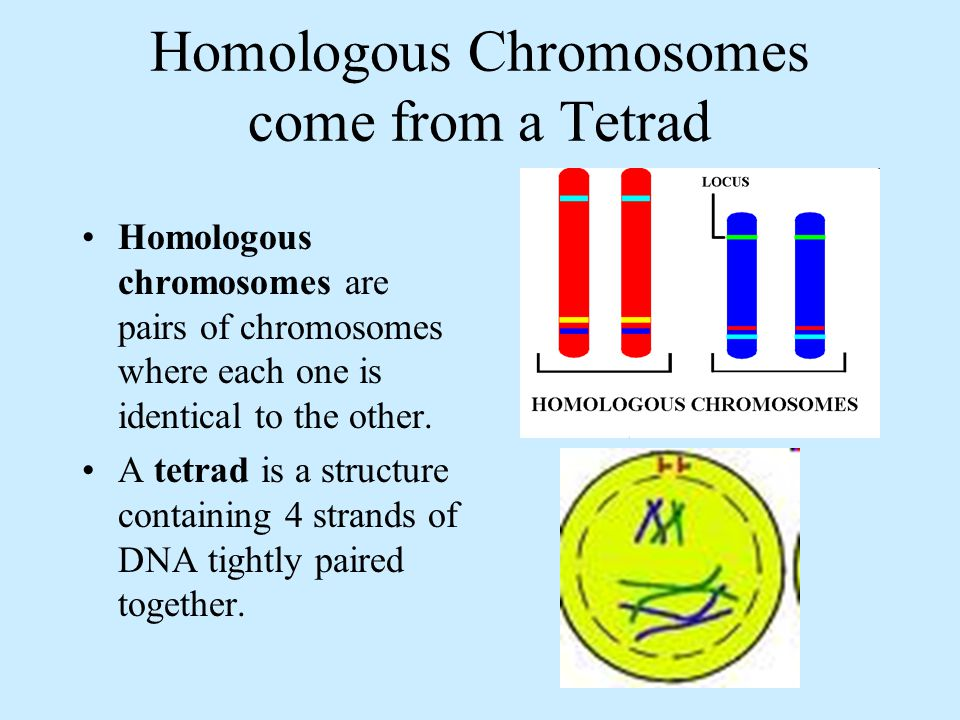 Homologous Chromosomes come from a Tetrad