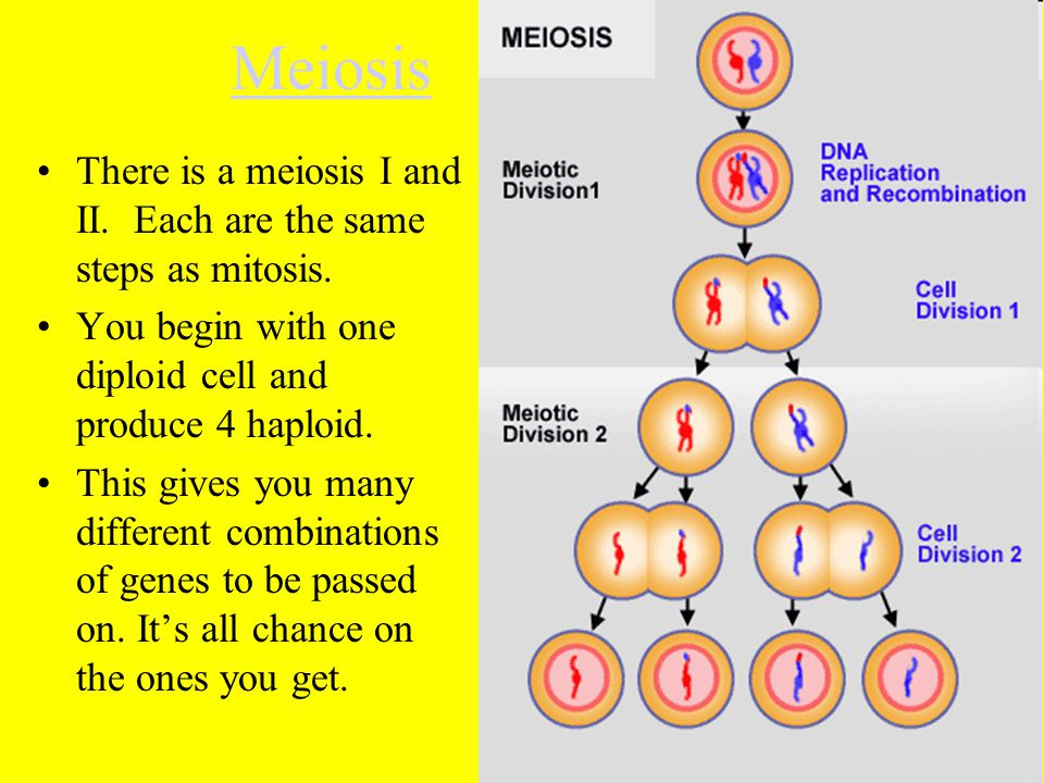 Meiosis There is a meiosis I and II. Each are the same steps as mitosis. You begin with one diploid cell and produce 4 haploid.