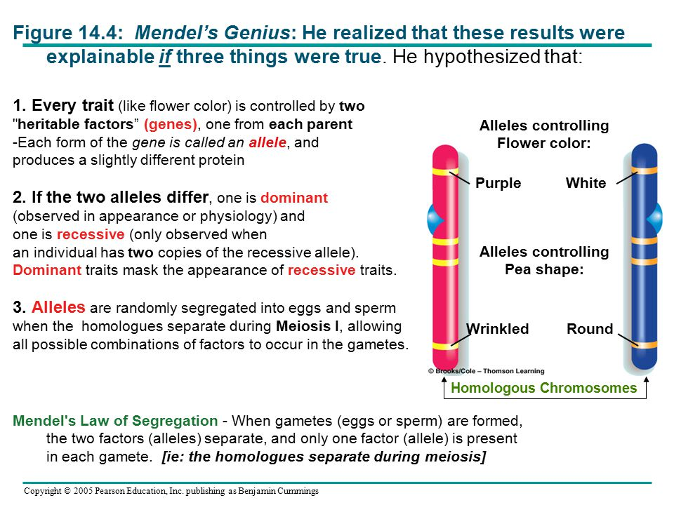 Figure 14.4: Mendel's Genius: He realized that these results were explainable if three things were true. He hypothesized that: