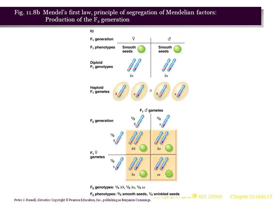 Fig. 11.8b Mendel's first law, principle of segregation of Mendelian factors: Production of the F2 generation