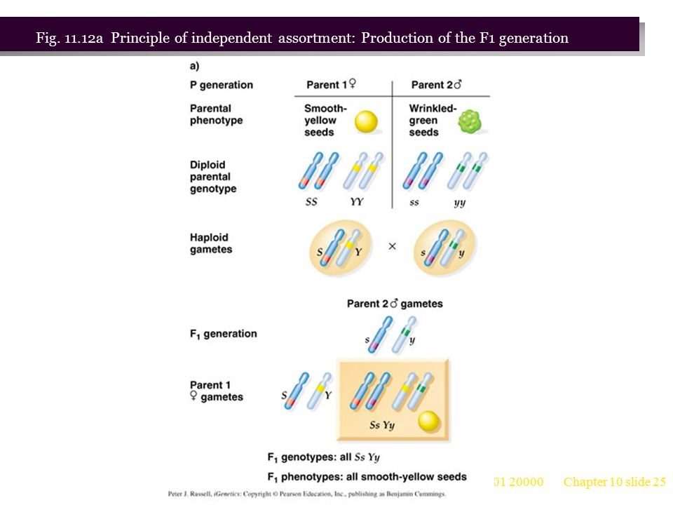 Fig. 11.12a Principle of independent assortment: Production of the F1 generation