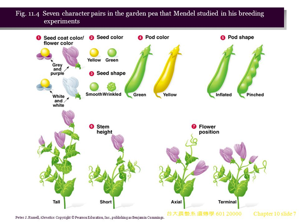 Fig. 11.4 Seven character pairs in the garden pea that Mendel studied in his breeding experiments