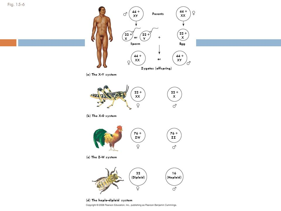 Figure 15.6 Some chromosomal systems of sex determination