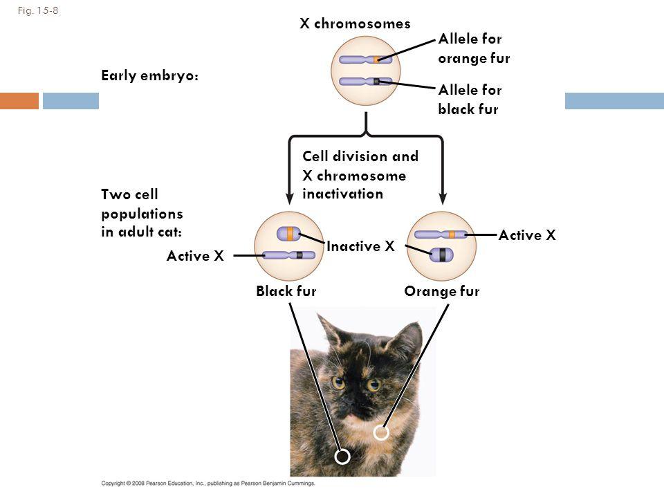 X chromosomes Allele for orange fur Early embryo: Allele for black fur