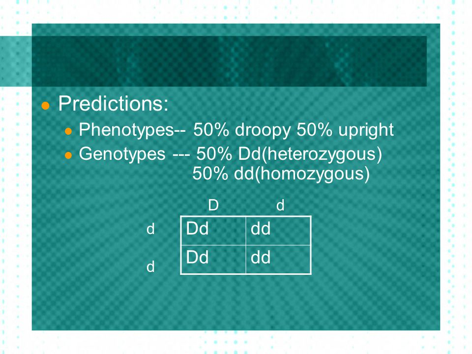 Predictions: Phenotypes-- 50% droopy 50% upright