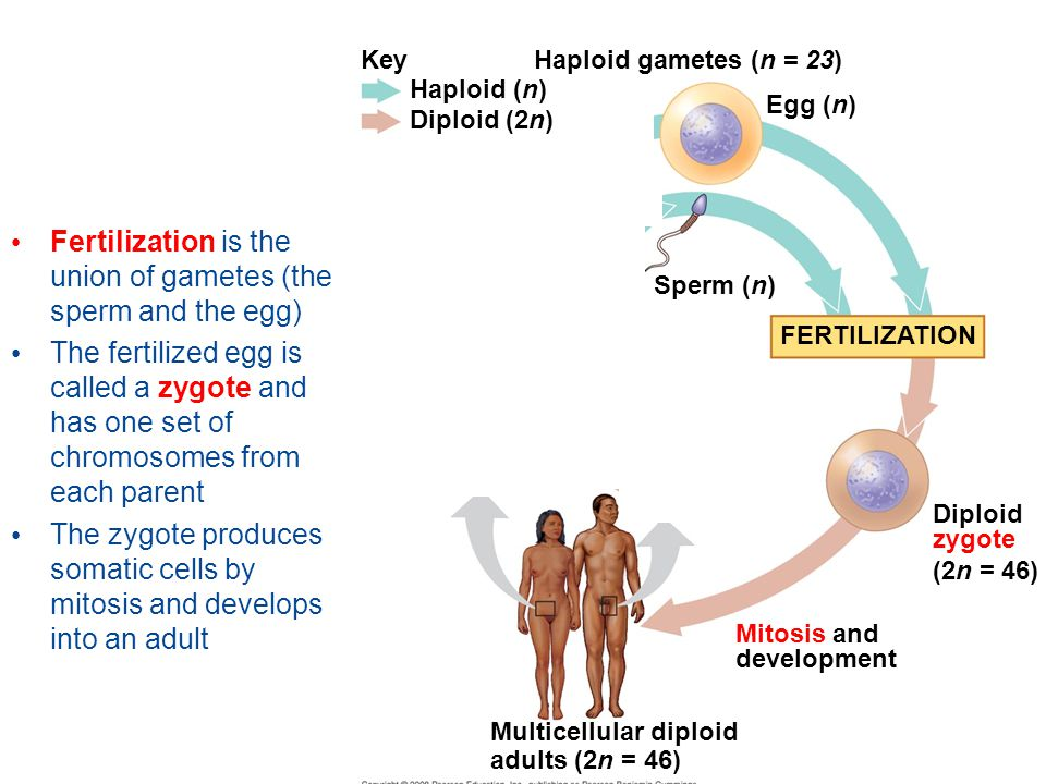 Fertilization is the union of gametes (the sperm and the egg)