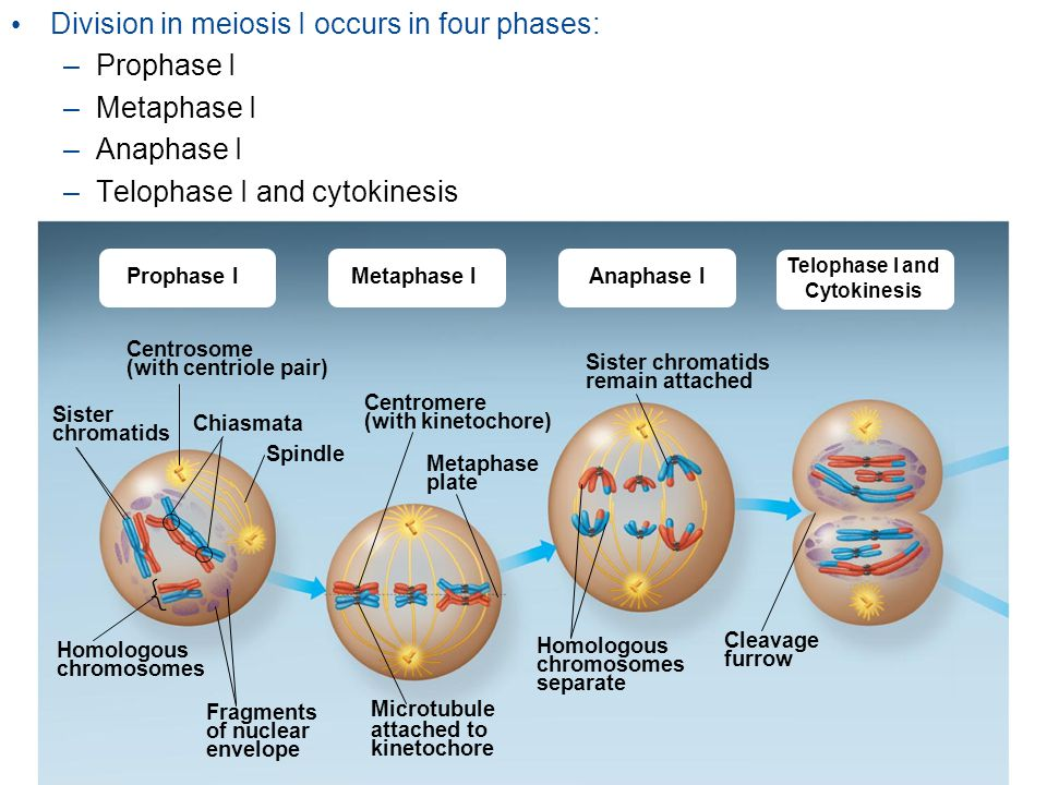 Division in meiosis I occurs in four phases: – Prophase I