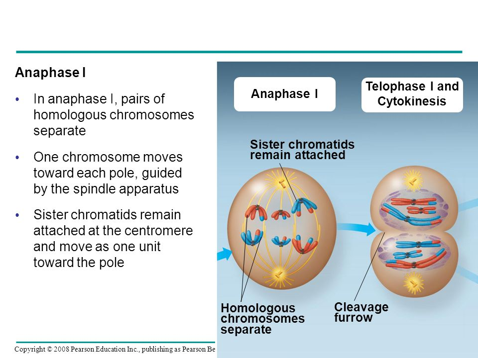 In anaphase I, pairs of homologous chromosomes separate
