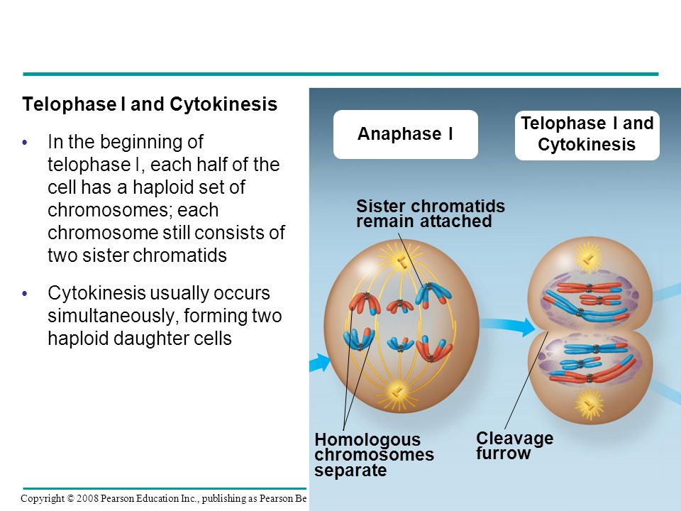 Telophase I and Cytokinesis