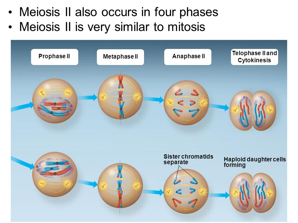Meiosis II also occurs in four phases