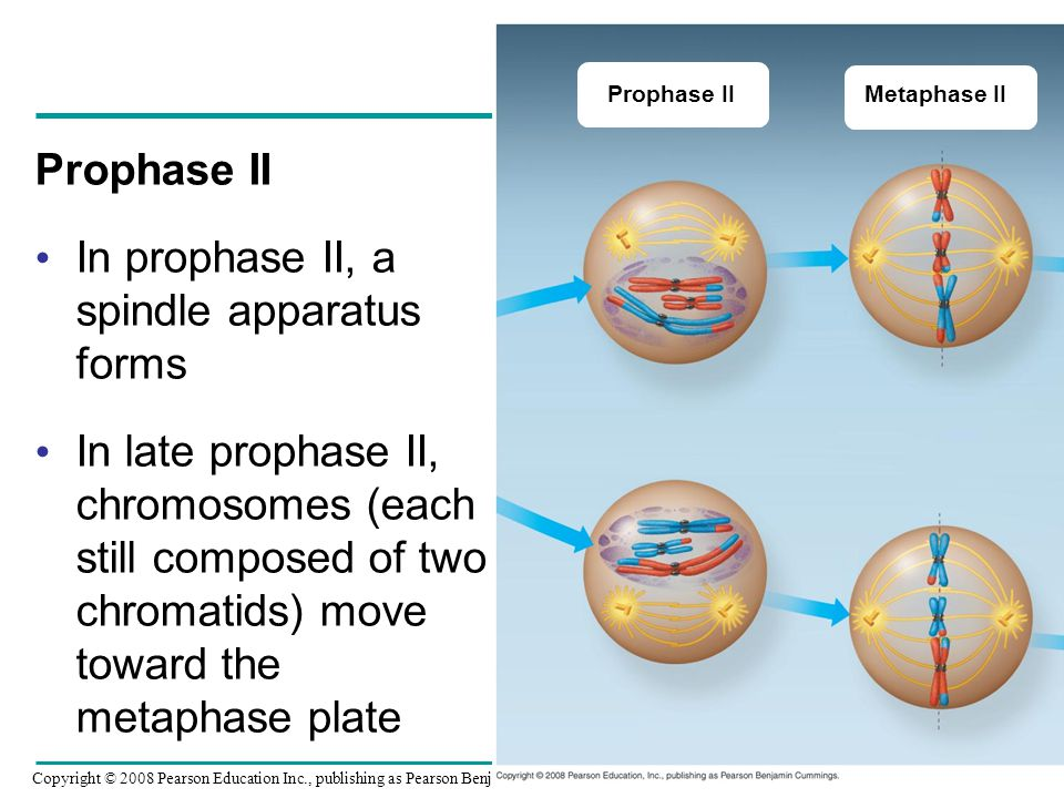 In prophase II, a spindle apparatus forms