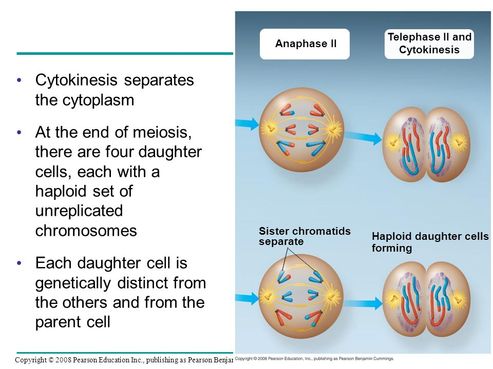 Cytokinesis separates the cytoplasm