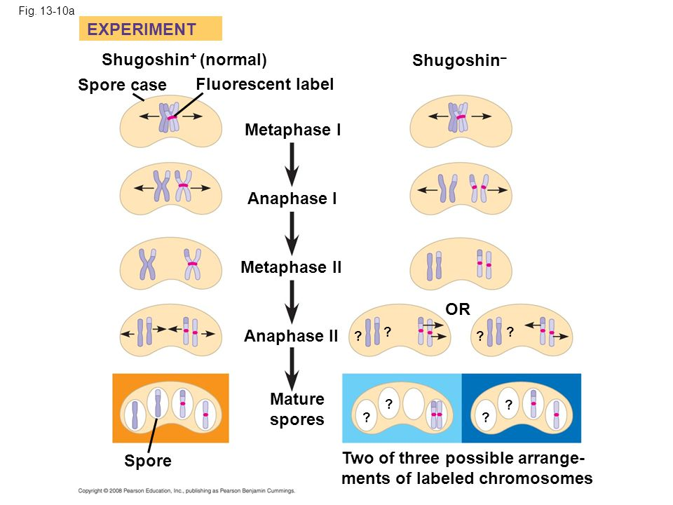 Two of three possible arrange- ments of labeled chromosomes
