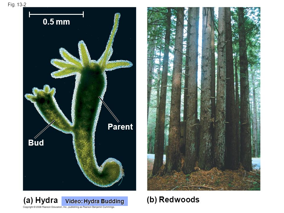 0.5 mm Parent Bud (a) Hydra (b) Redwoods Video: Hydra Budding