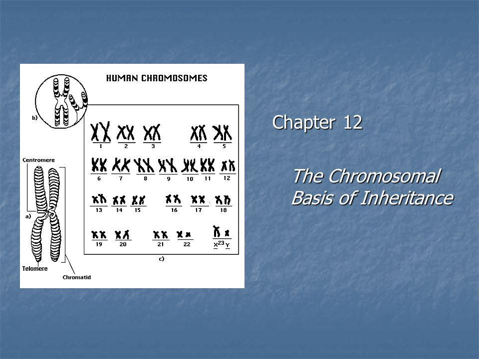 Chapter 12 The Chromosomal Basis of Inheritance