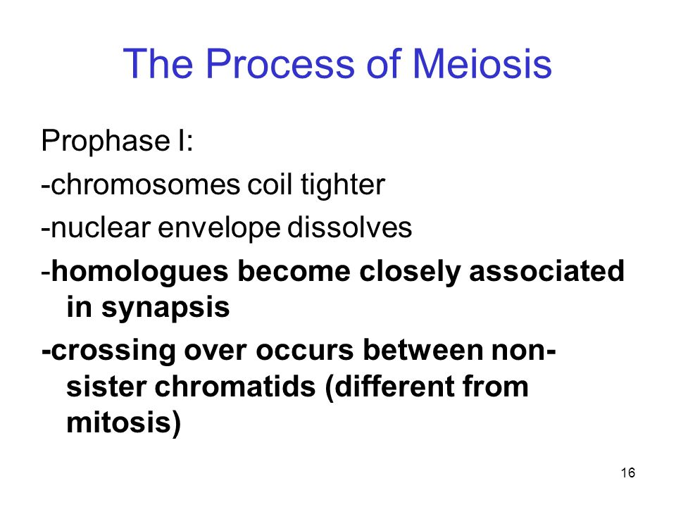 The Process of Meiosis Prophase I: -chromosomes coil tighter