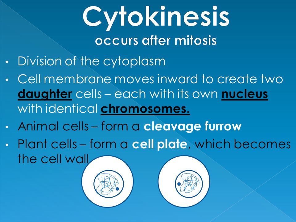 Cytokinesis occurs after mitosis