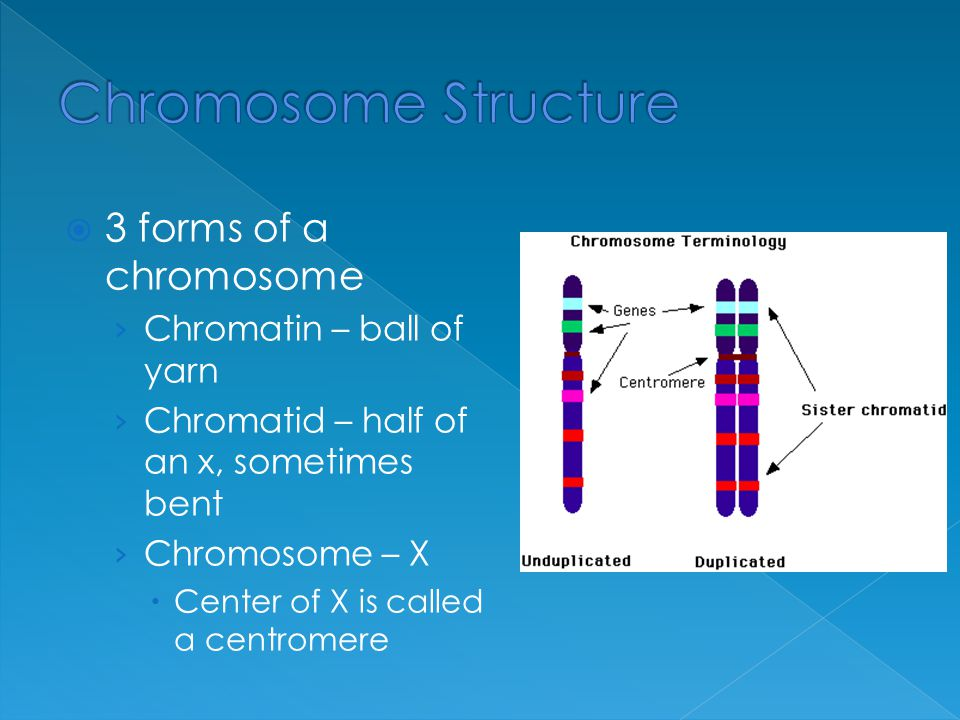 Chromosome Structure 3 forms of a chromosome Chromatin – ball of yarn