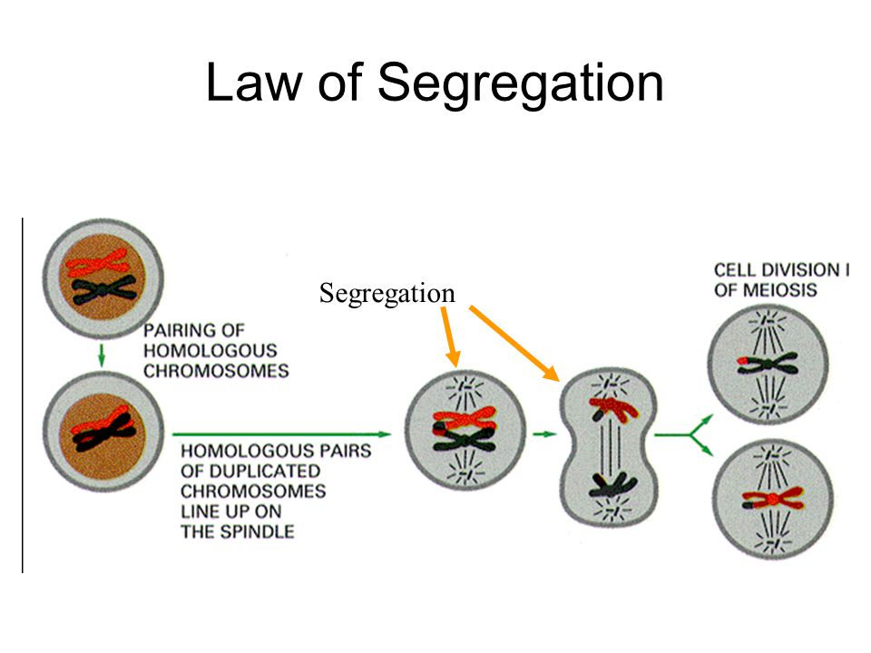 Law of Segregation Principle of Segregation Demystified Segregation