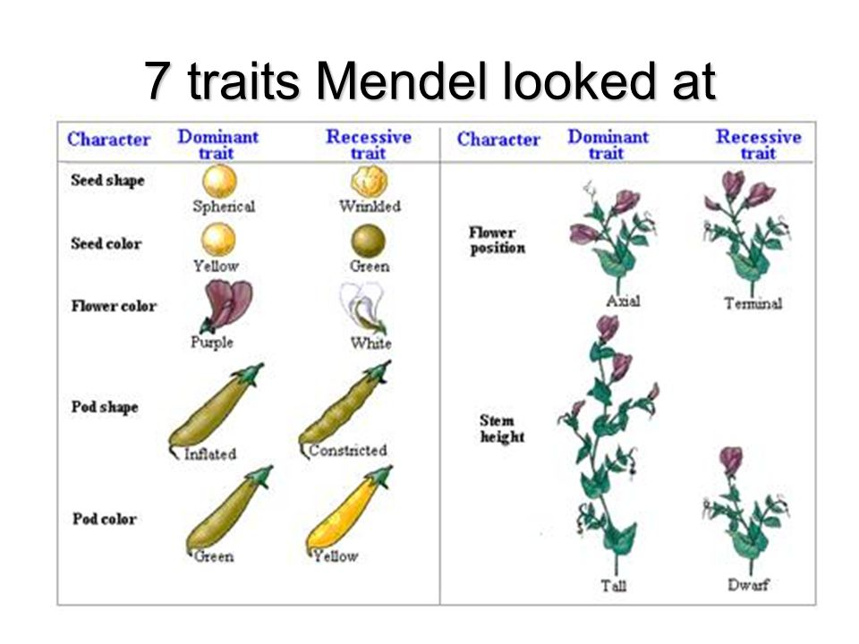 7 traits Mendel looked at