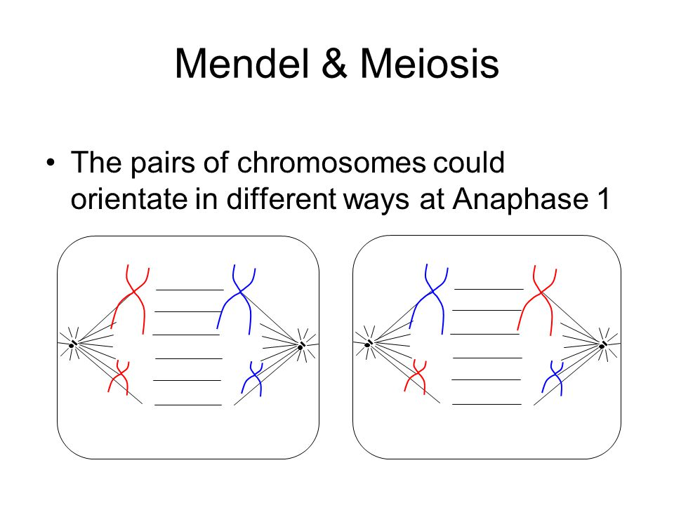 Mendel & Meiosis The pairs of chromosomes could orientate in different ways at Anaphase 1