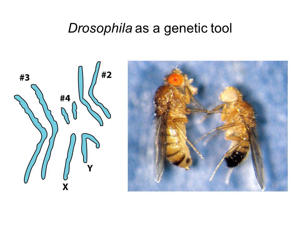 Drosophila as a genetic tool