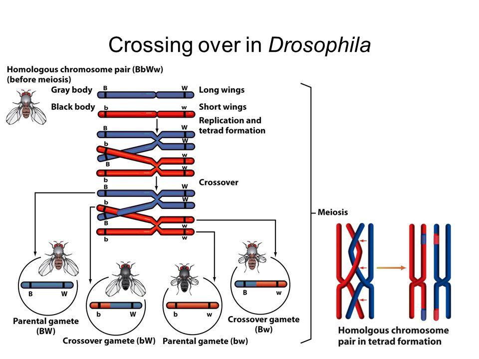 Crossing over in Drosophila
