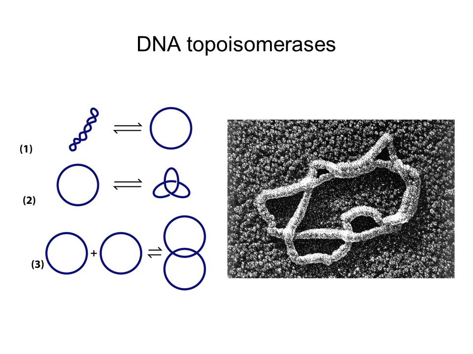 DNA topoisomerases