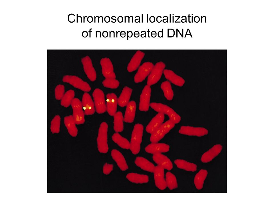 Chromosomal localization of nonrepeated DNA