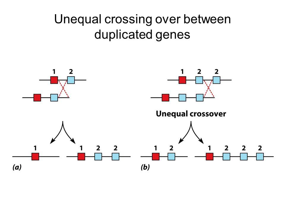 Unequal crossing over between duplicated genes