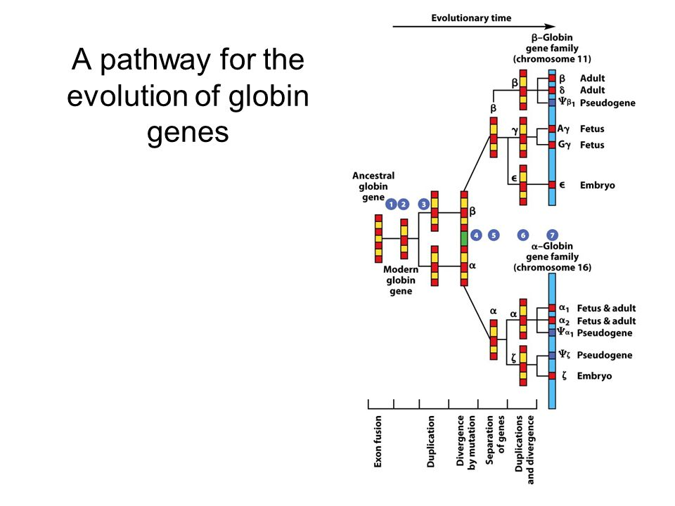 A pathway for the evolution of globin genes