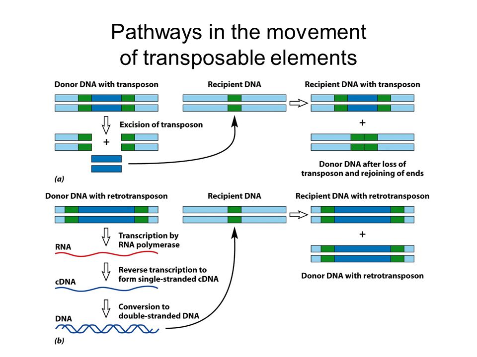 Pathways in the movement of transposable elements