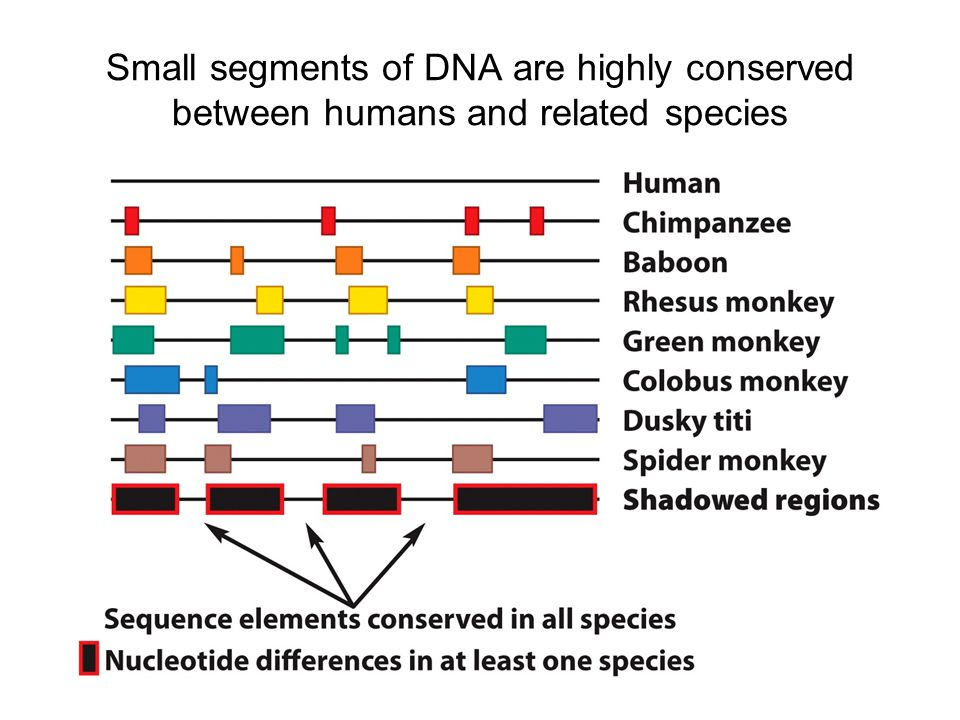 Small segments of DNA are highly conserved between humans and related species
