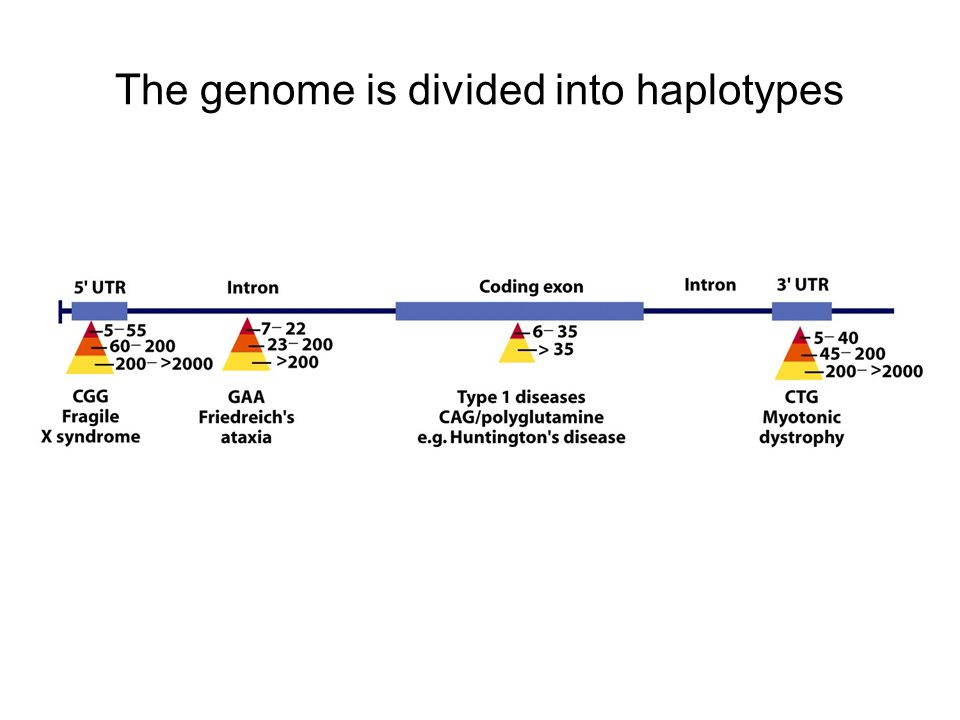 The genome is divided into haplotypes